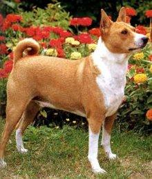 африканская нелающая собака басенджи