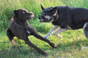 собака стала агрессивной что делать