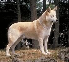 порода собак ханаанская