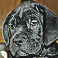 порода собак кане корсо характеристика