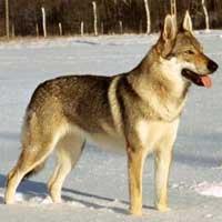 чехословацкая волчья собака характеристика