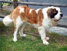 собака сенбернар описание породы