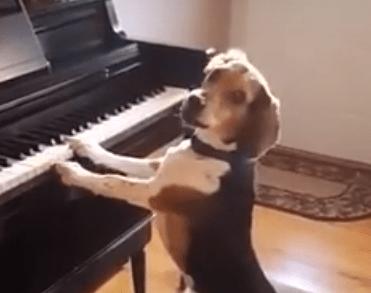 Cобака поет песню видео и при этом играет на пианино